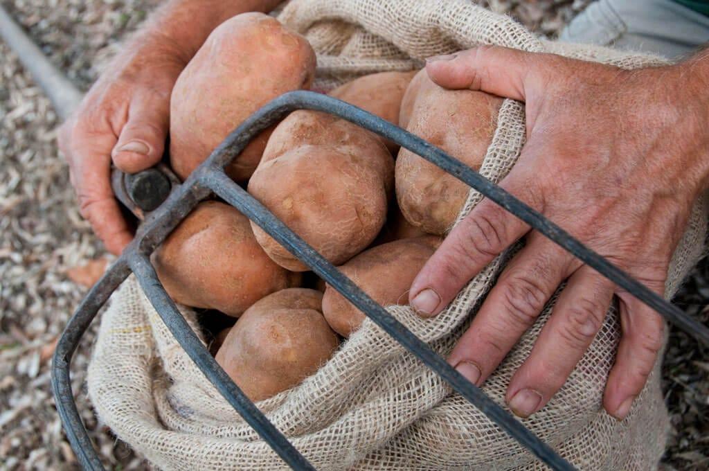 Patatas ecológicas de Cas Gasi Ibiza